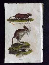 Brightly (Pub) 1811 Antique Hand Col Print. Gilt-Tailed Dormouse, Jerboa